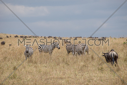 Beautiful Herd in the nature of Masai mara ,kenya, africa