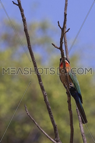 Close short for Bee-eater bird in the open park.