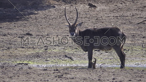 View of waterbuck bull standing near water