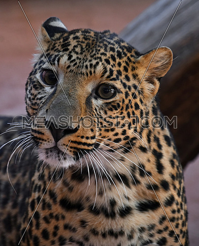 Face to face close up portrait of Amur leopard (Panthera pardus orientalis) female looking at camera, high angle view