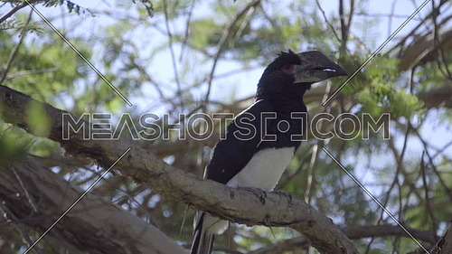View of a Trumpeter Hornbill perched on a branch