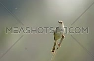 Graceful Prinia Singing in EArly Morning in AlQanatir Egypt on a Blurred Background