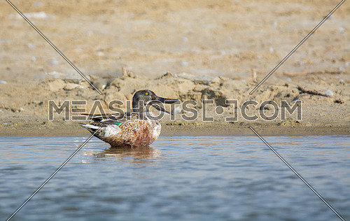 Northern Shovler Duck in the water