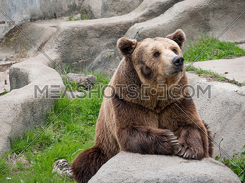 Eurasian brown bear (Ursus arctos arctos), also known as the European brown bear.
