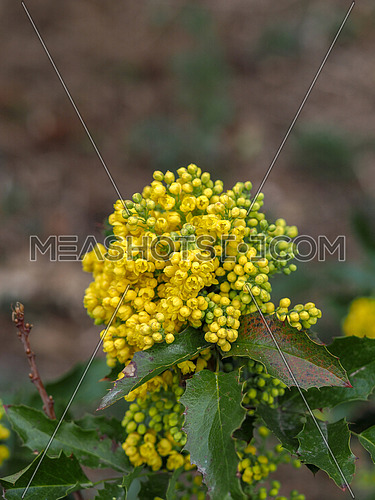 Mahonia aquifolium flowers in the spring garden. Useful plants. Homeopathy.