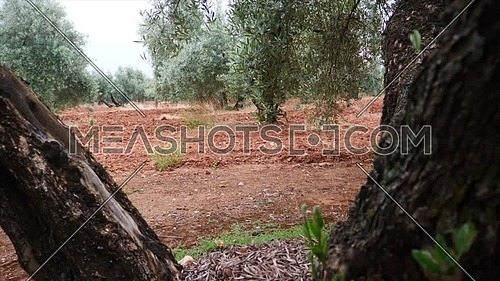 Olive trees plantation. The camera moves slowly between the olive trees, Jaen, Spain