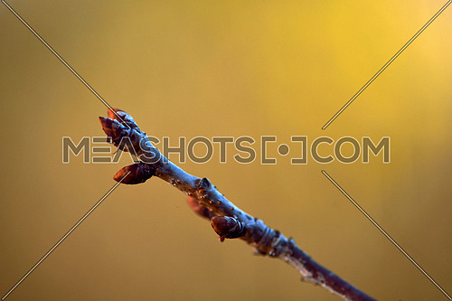 first spring gentle leaves, buds and branches macro background