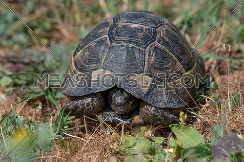 Hermann's tortoise (Testudo hermanni) is one of five tortoise species traditionally placed in the genus Testudo