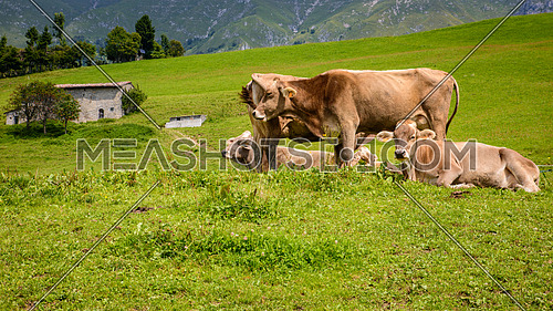 milck cows with grazing on Italian Alpine mountains green grass pasture.