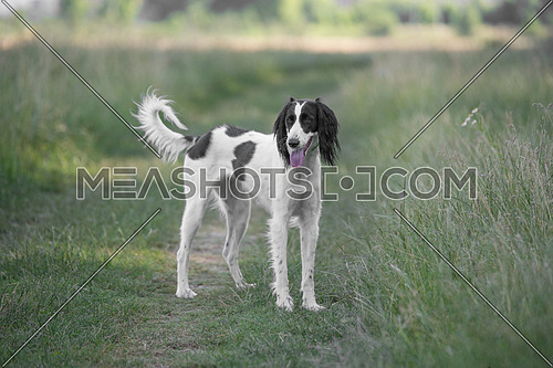 Kyrgyzian  Sight hound  is a member of the family of Eastern Sighthounds. The Taigan is a very rare dog breed, reported about few hundred  worldwide. Selective focus on the dog