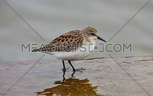 Little Stint (Calidris minuta) walking on the muddy shore