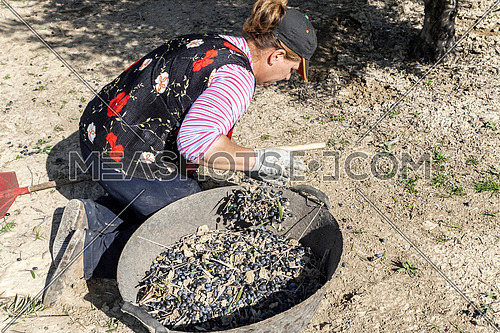 Jaen, Spain - yanuary 2008, 23: Woman farmer of knees on the ground during the olive harvest campaign check lot of olives in basket, take in Jaen, Spain