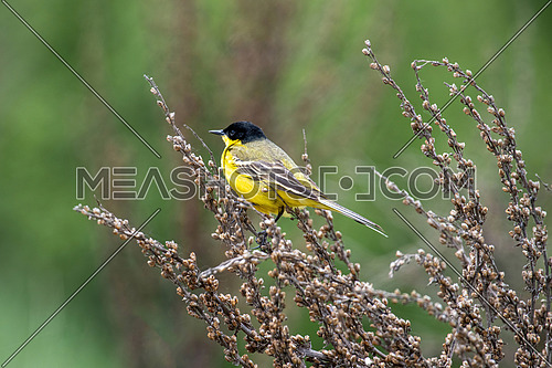 Black headed western yellow wagtail (Motacilla flava feldegg) perched on a twig