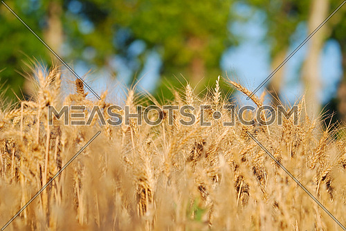 wheat and blue sky   (NIKON D80; 6.7.2007; 1/200 at f/6; ISO 100; white balance: Auto; focal length: 165 mm)