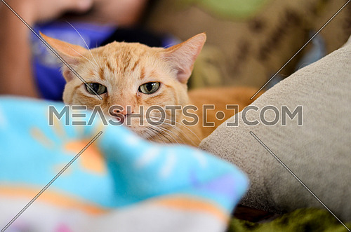 A peachy colored cat looking directly to the camera on the bed
