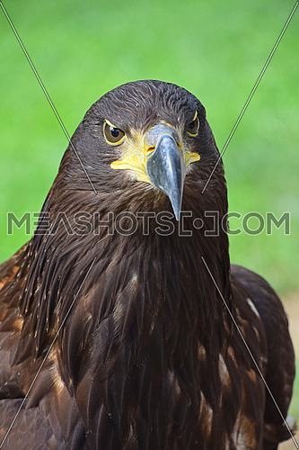 Close up front portrait of one Golden eagle (Aquila chrysaetos) looking at camera over green background, low angle view