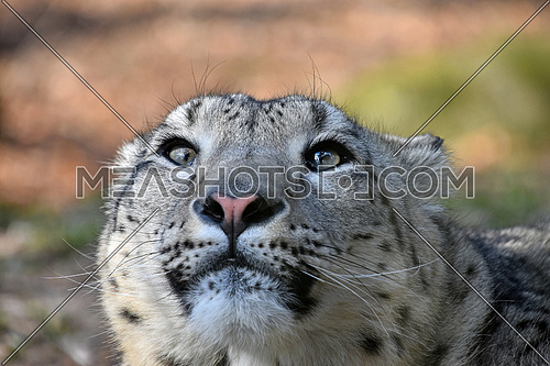 Close up portrait of young female snow leopard (or ounce, Panthera uncia) looking up above camera, low angle view