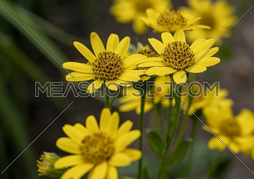 Close up of Arnica Montana flower in the dolomites .Great healthy plant for herbal medicine