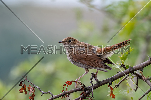 common nightingale in the shrub is sitting on a branch. Bird the Nightingale sings in the spring.