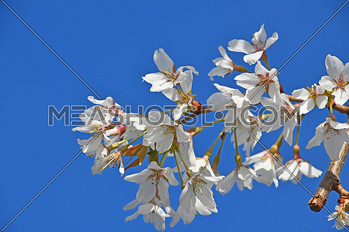 Branch of white cherry blossom sakura flowers with green leaves and fresh new buds over clear blue sky background close up