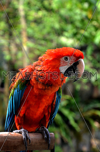 a red Parrot standing on a wooden perch