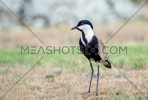 Spur winged lapwing