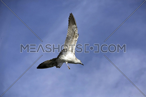 A seagull, soaring in the blue sky
