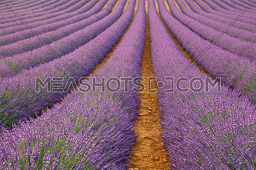 Purple blooming lavender field of Provence, France, in day time with beautiful scenic sky and tree on horizon