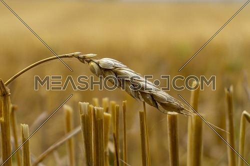 Single ear of golden wheat in a harvested field with stubble remnants in evening light with copyspace