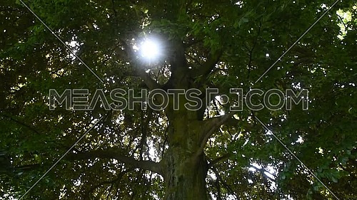 Close up of big tree with green leaves and sunshine from foliage of crown branches, low angle view, tilt