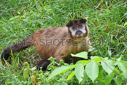 Brown (or tufted) capuchin monkey (Cebus apella) male in green grass, looking up