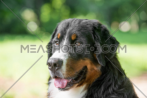 Bernese mountain dog portrait in outdoors