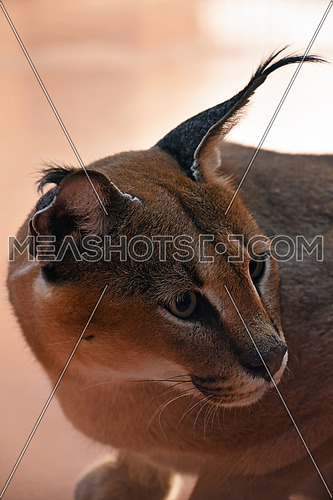 Close up side profile portrait of one caracal, small African wild cat known for black tufted long ears, looking away, high angle view