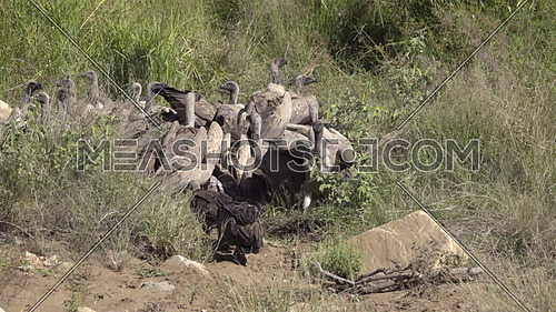 A wake of vultures fighting for dead meat