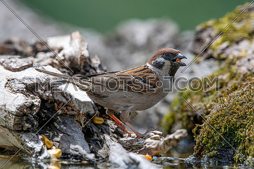 Eurasian tree sparrow (Passer Montanus)  sitting near a small pond in the forest
