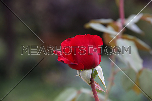 a closeup for a red rose in a garden