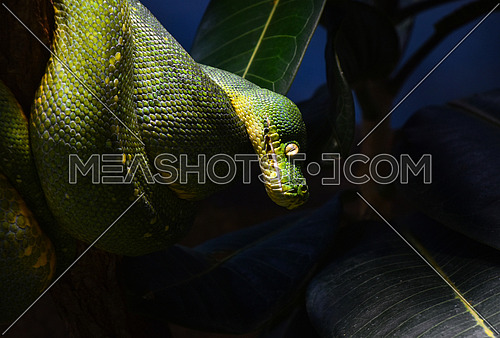Close up side profile portrait of beautiful Green tree python (Morelia viridis) looking into camera out of dark, low angle view