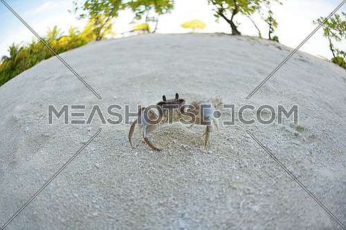 crab tropical wild animal  on a white sand beach