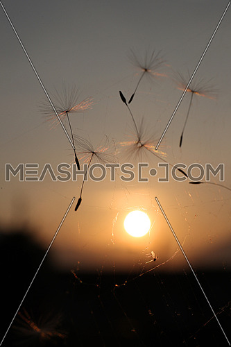 Dandelion seed suspended in a spider web in mid air with a fly in front of sunset