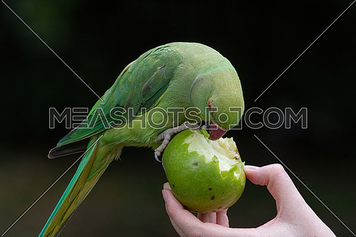 Rose-ringed Parakeet, Psittacula krameri, also known as Ring-necked Parakeet, the beautiful green and red parrot bird with nice feathers details