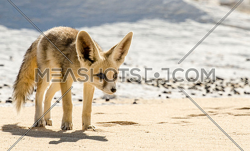 Arabian fox in the white desert