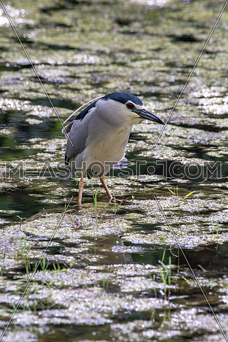 Black-capped night heron (Nycticorax nycticorax) with suspecting face expression.