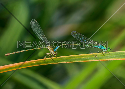 Close up shot for mating damselfly