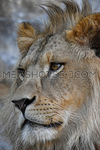 Extreme close up side profile portrait of young cute male African lion with beautiful mane, looking away aside of camera, low angle view