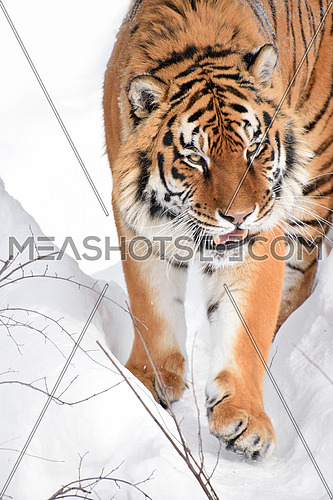 Close up portrait of one young Amur (Siberian) tiger in fresh white snow sunny winter day, looking up at camera, high angle front view