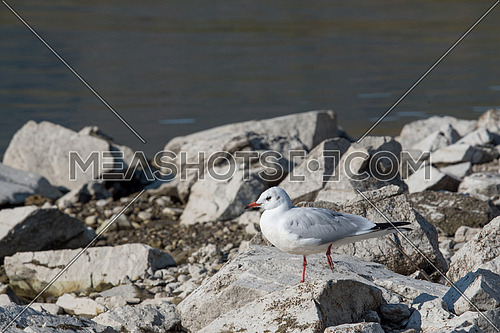 A black-headed gull (Chroicocephalus ridibundus) standing on rocks