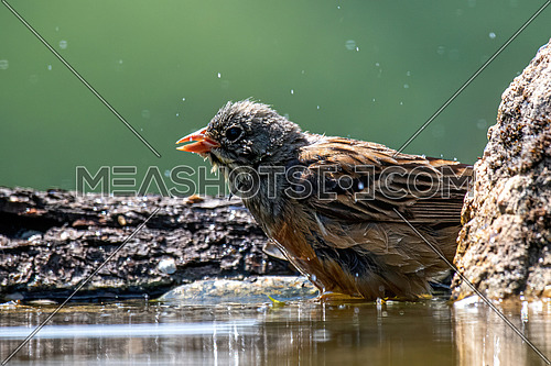 Close up of Ortolan Bunting (Emberiza hortulana) near pond in forest