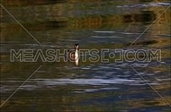 Great crested grebe flapping wings and swimming away