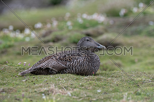 Female Eider Duck - Somateria mollissima Close up