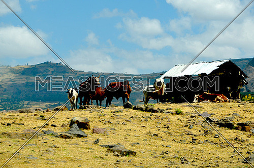 cows on a montain top in Ethiopia